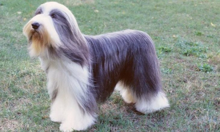 rasa Bearded Collie