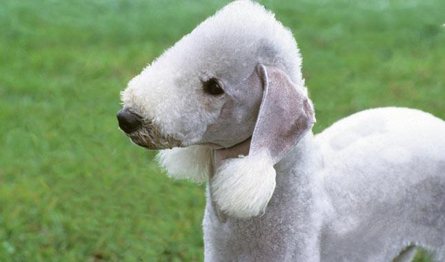 rasa Bedlington Terrier