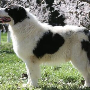 rasa Ciobanesc de Bucovina