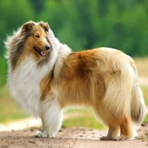 rasa Collie
