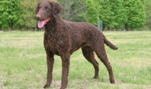 rasa Curly-Coated Retriever