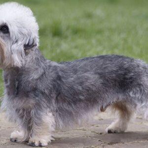 rasa Dandie Dinmont Terrier