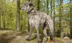 rasa Deerhound Scotian