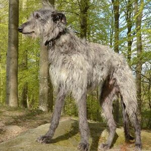 rasa Deerhound Scotian