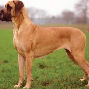 rasa Dog German