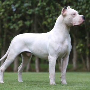 rasa Dog argentinian