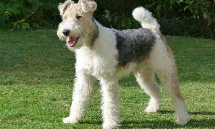 rasa Fox Terrier
