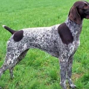 rasa German Shorthaired Pointer