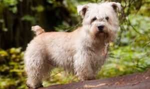 rasa Glen of Imaal Terrier