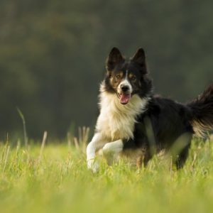 rasa border collie