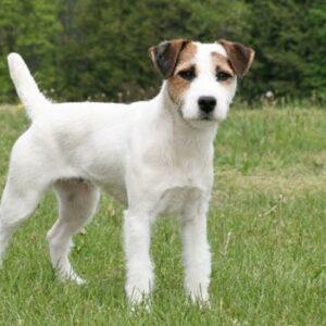 rasa caini jack russell terrier