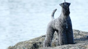 rasa caini kerry blue terrier