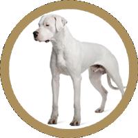 Dog Argentinian