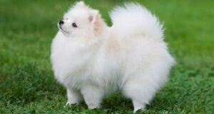 rasa caini Pomeranian
