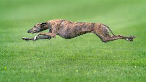 rasa caini greyhound