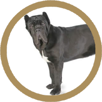 Mastiff de Napoli