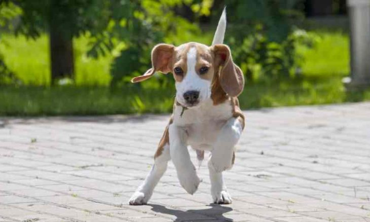 nume de caini beagle