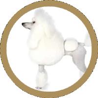 Pudel-Caniche