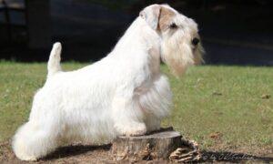rasa caini Sealyham Terrier