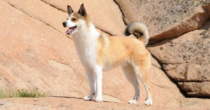 rasa caini norvegian lundehund