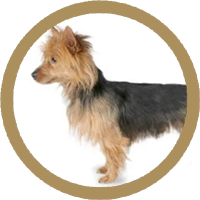 Terrier Australian