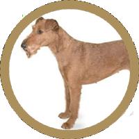 Terrier Irlandez