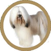 Terrier Tibetan